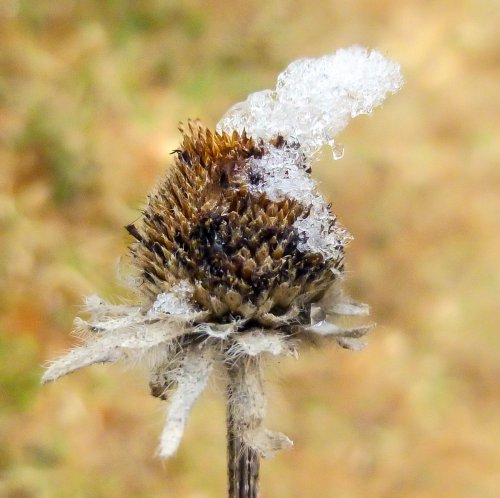 20. Snow on Seed Head