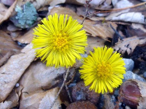 3. Coltsfoot