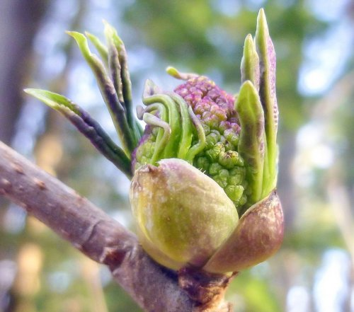 3. Red Elderberry Bud