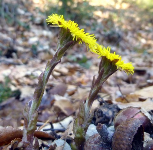 4. Coltsfoot From Side