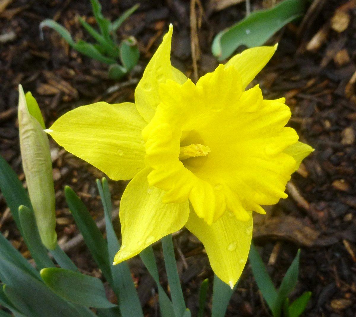 4. Daffodil