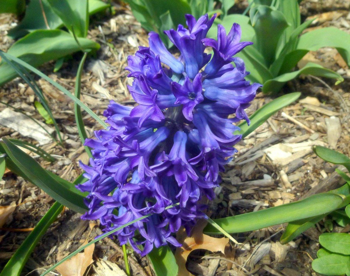 4. Hyacinth