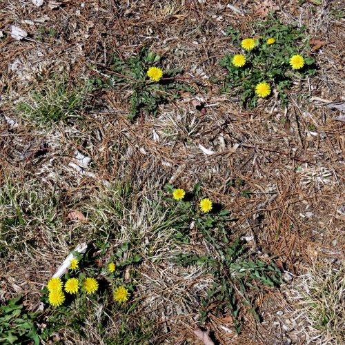 5. Dandelions