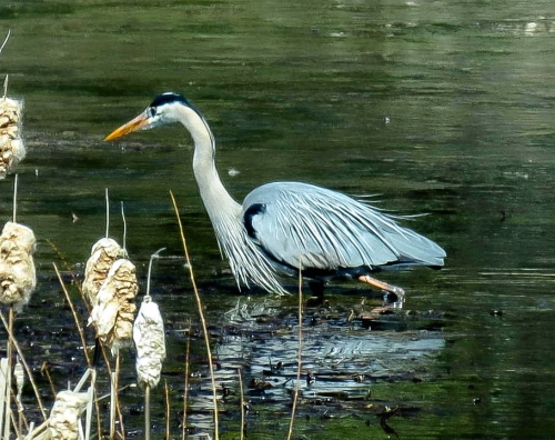 5. Great Blue Heron