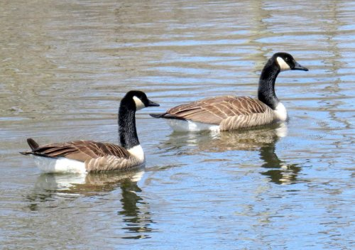 6. Canada Geese