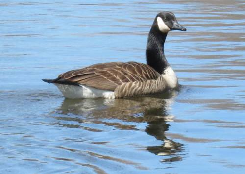 7. Canada Goose