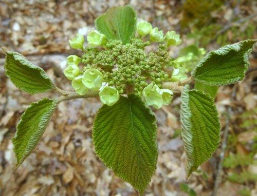 7. Hobblebush Flower Head
