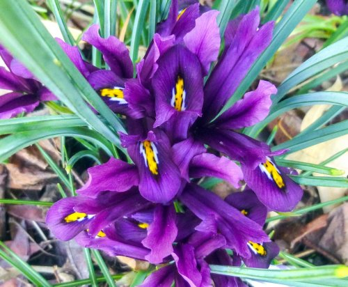 7. Reticulated Iris