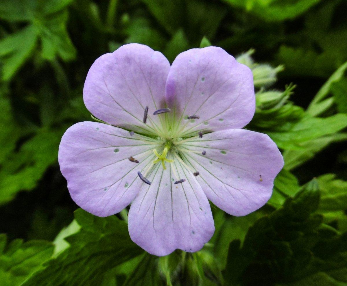1. Wild Geranium