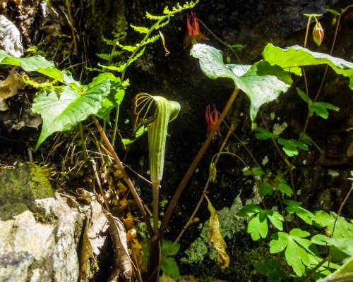 10. Jack in the Pulpit