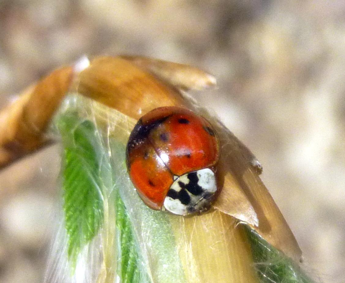 10. Ladybug