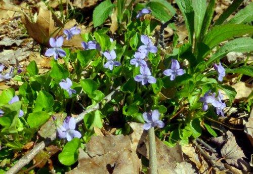 11. Violets