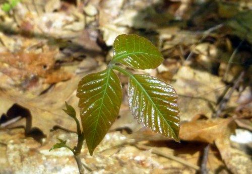 12. Poison Ivy