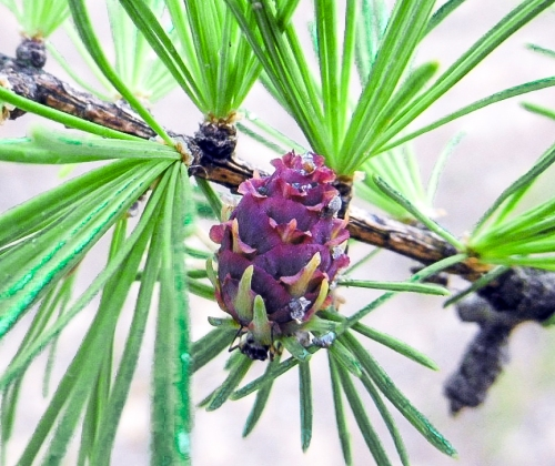 13. Larch Flower