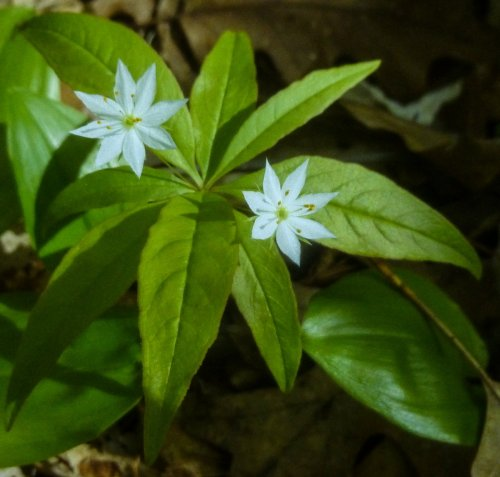 13. Starflowers