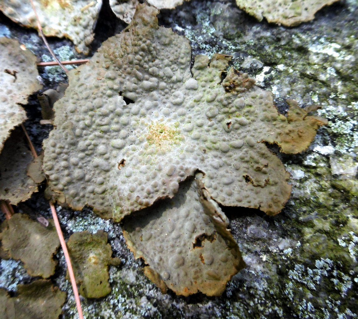 14. Toadskin Lichen