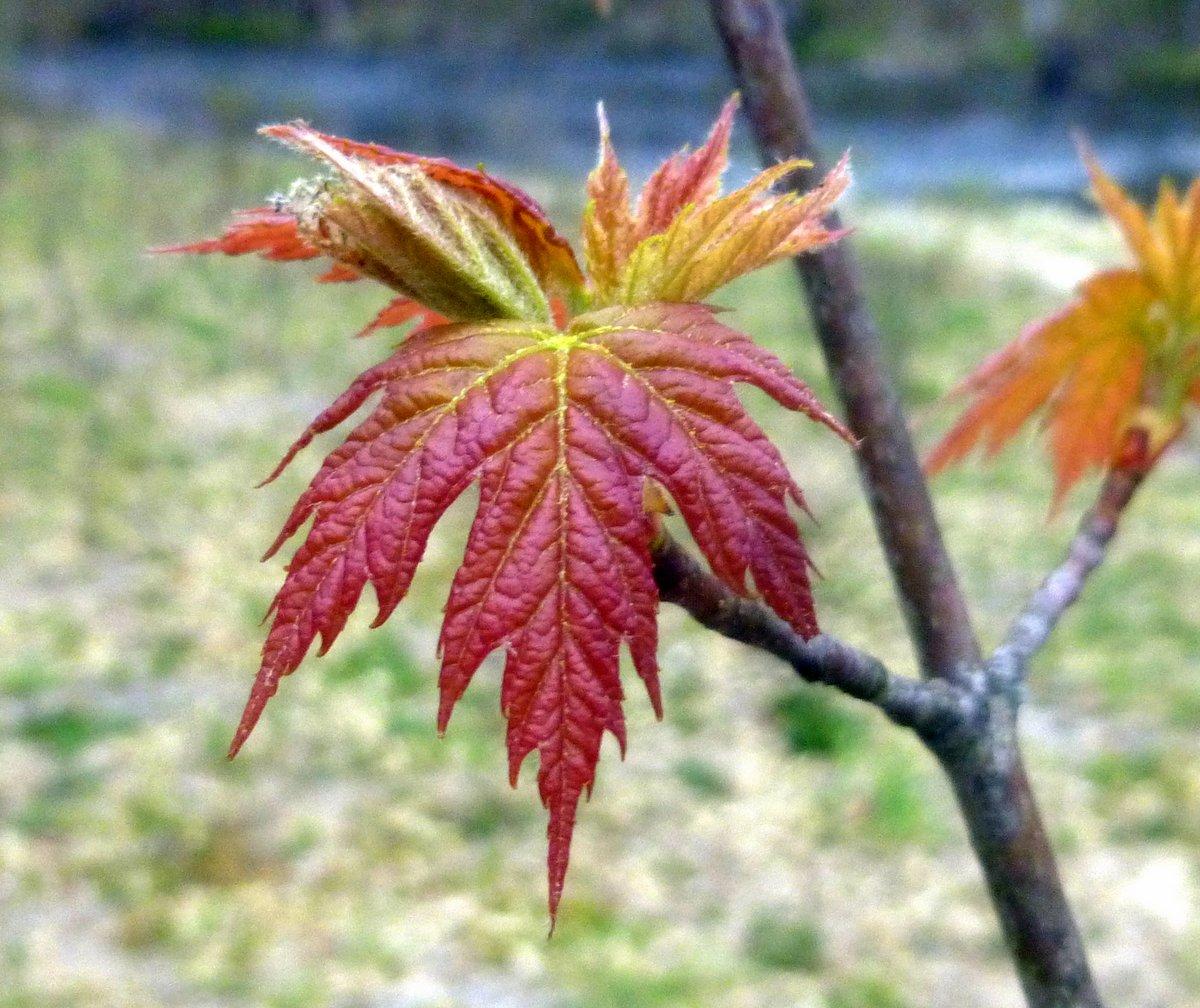 15. Maple Leaf