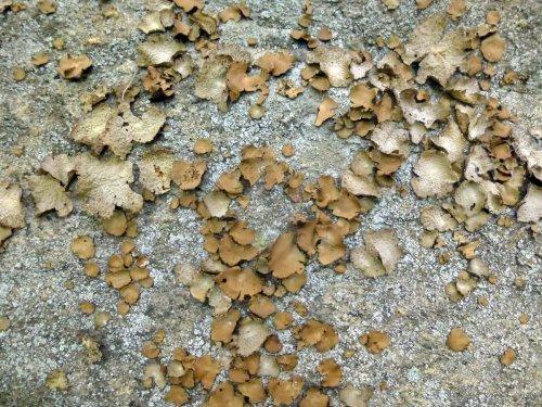17. Toadskin and Rock Tripe Lichens