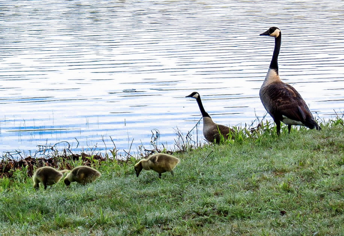 2. Canada Geese