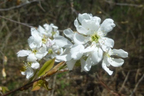 2. Shadbush Flowers