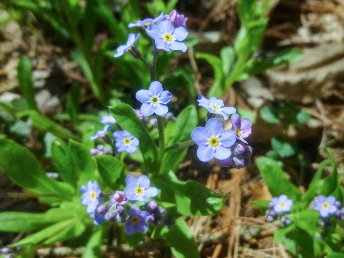 22. Forget Me Nots