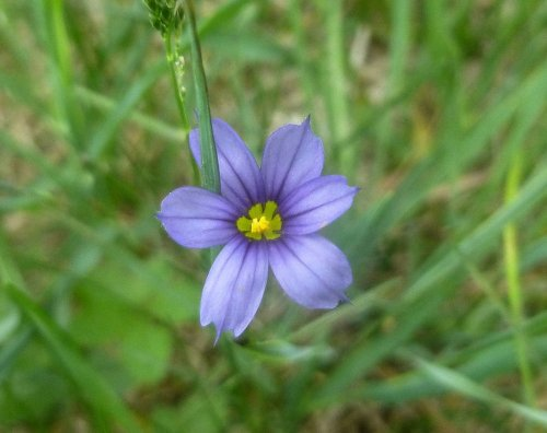 3. Blue Eyed Grass