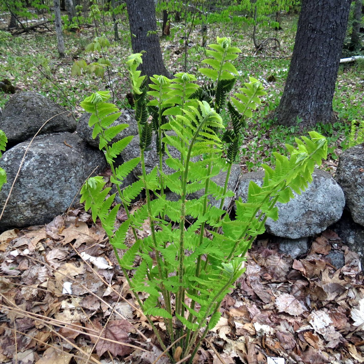 3. Interrupted Fern