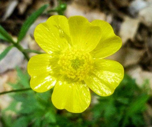 4. Buttercup