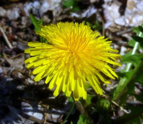4. Dandelion