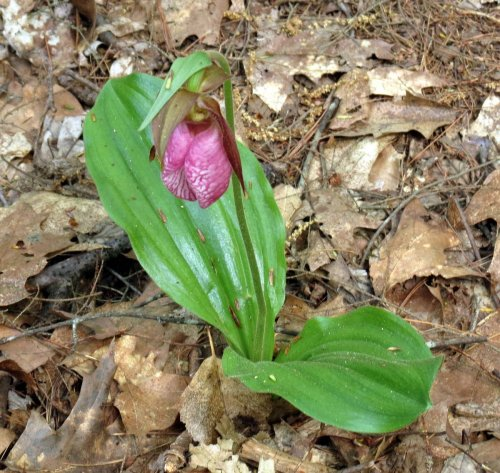 5. Lady's Slipper