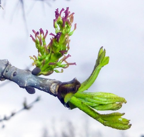 6. Ash Flowers
