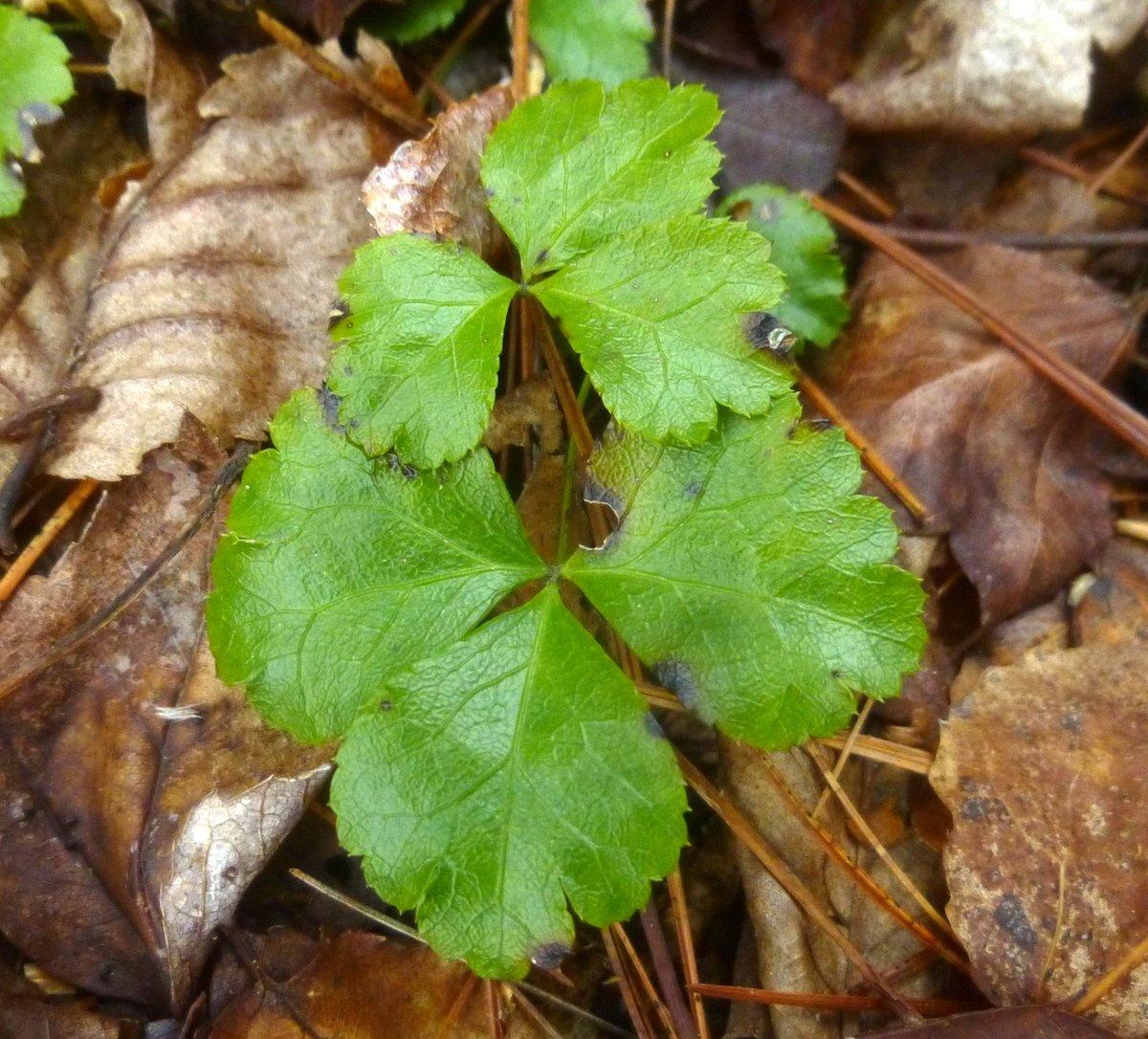 6. Goldthread Foliage