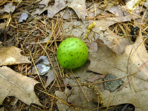 7. Oak Apple Gall