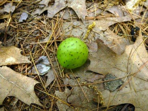 7. Oak Apple Gall