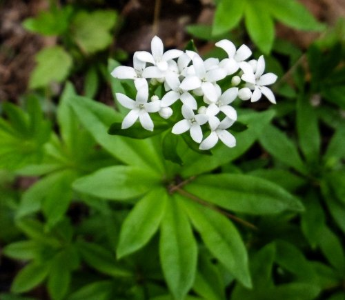7. Sweet Woodruff