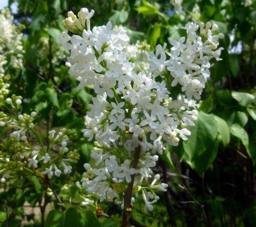 7. White Lilac