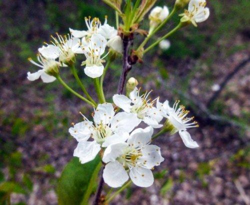 8. Cherry Blossoms