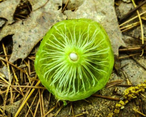 8. Oak Apple Gall Inside