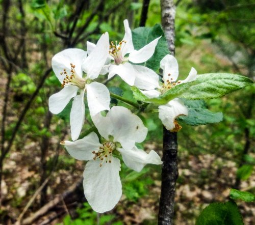 9. Apple Blossoms
