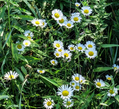 1. Ox-Eye Daisy
