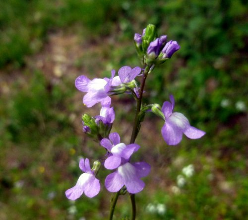 1. Toadflax