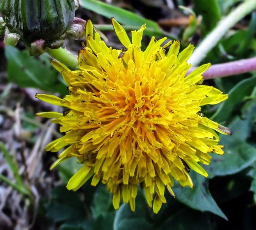 10. Dandelion