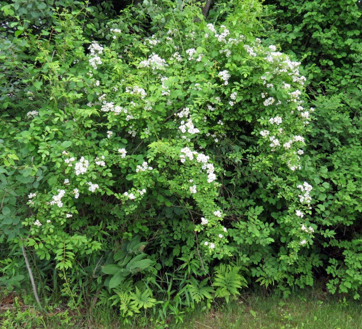 10. Multiflora Rose