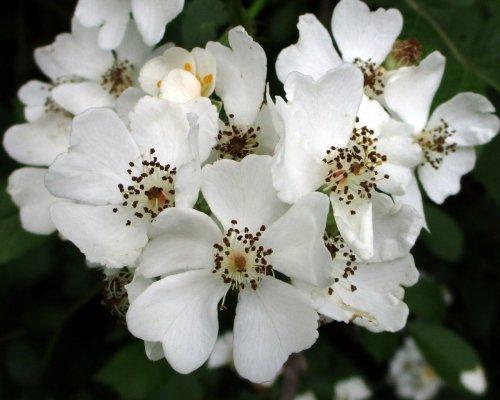 11. Multiflora Rose