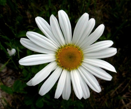 11. Ox Eye Daisy