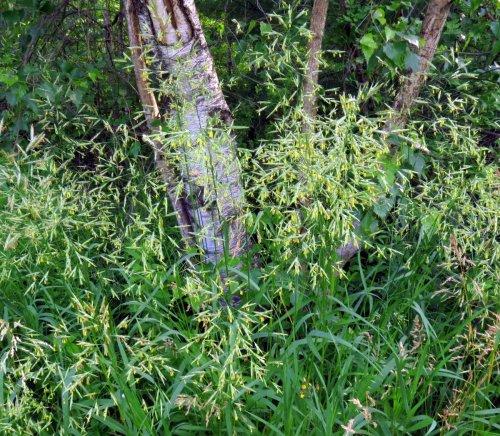 12. Flowering Grass