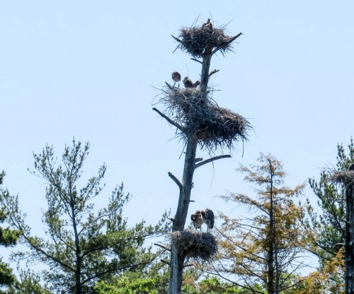 12. Great Blue Heron Chicks