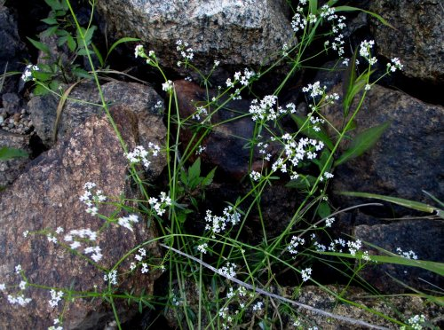 12. Upright Bedstraw