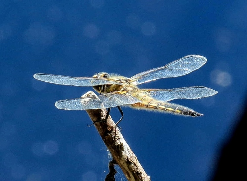 14. Dragonfly