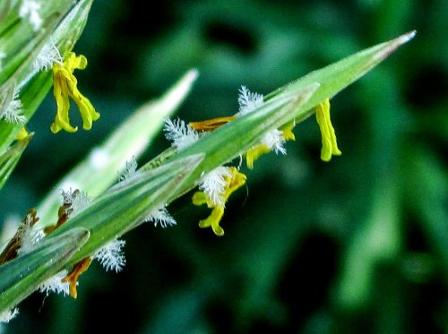 14. Flowering Grass